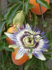 Blühende Passionsfrucht auf La Gomera