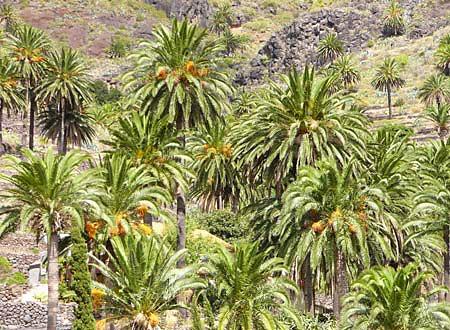 Nationalpark Garajonay - Palmen La Gomera